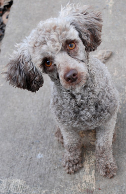 poodle female rescue