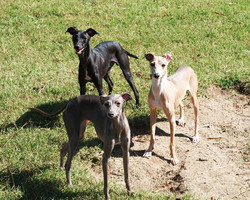 greyhound mix