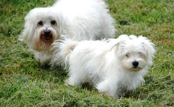 westie white rescue dog