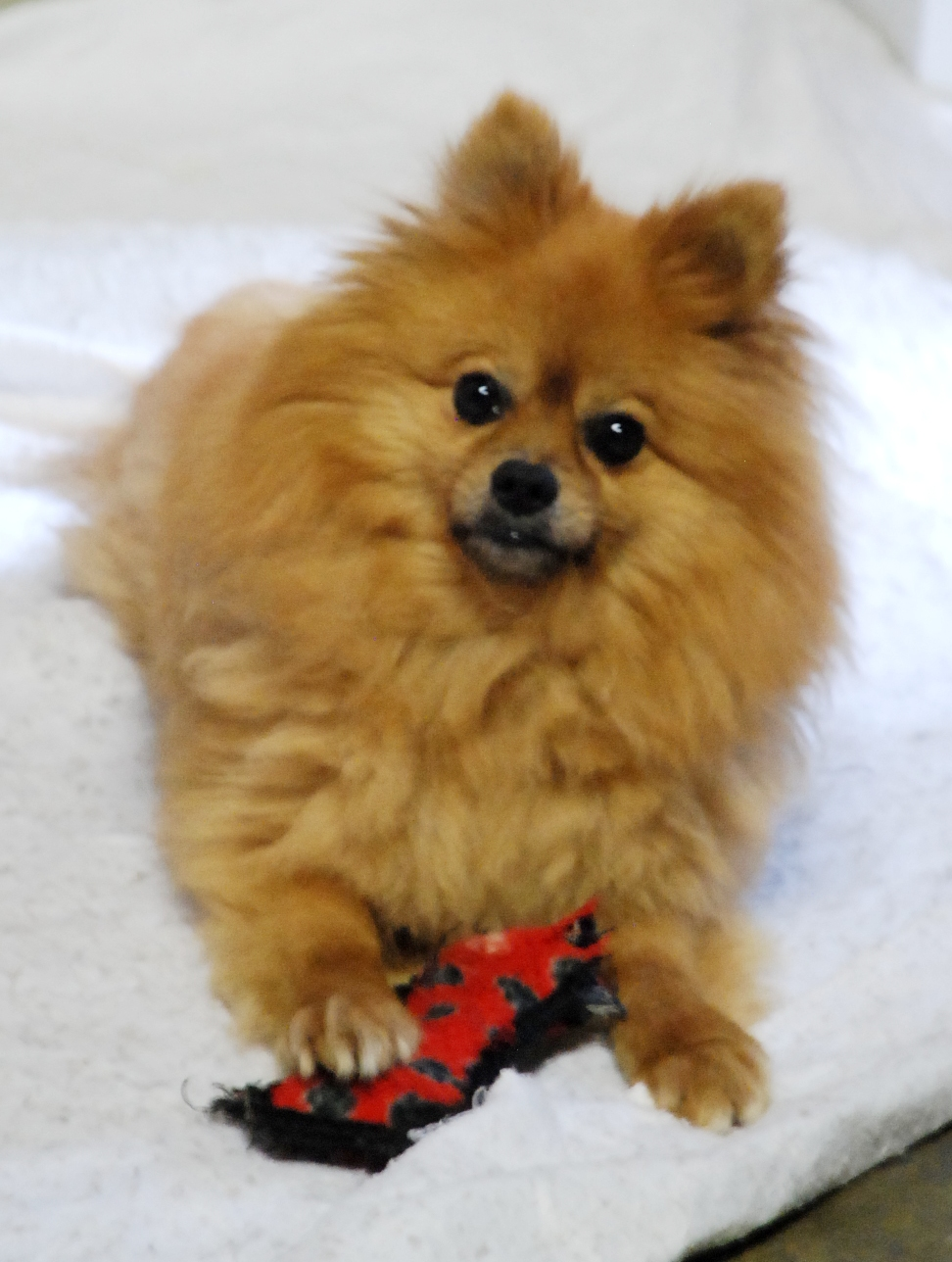Pomeranian rescue dog