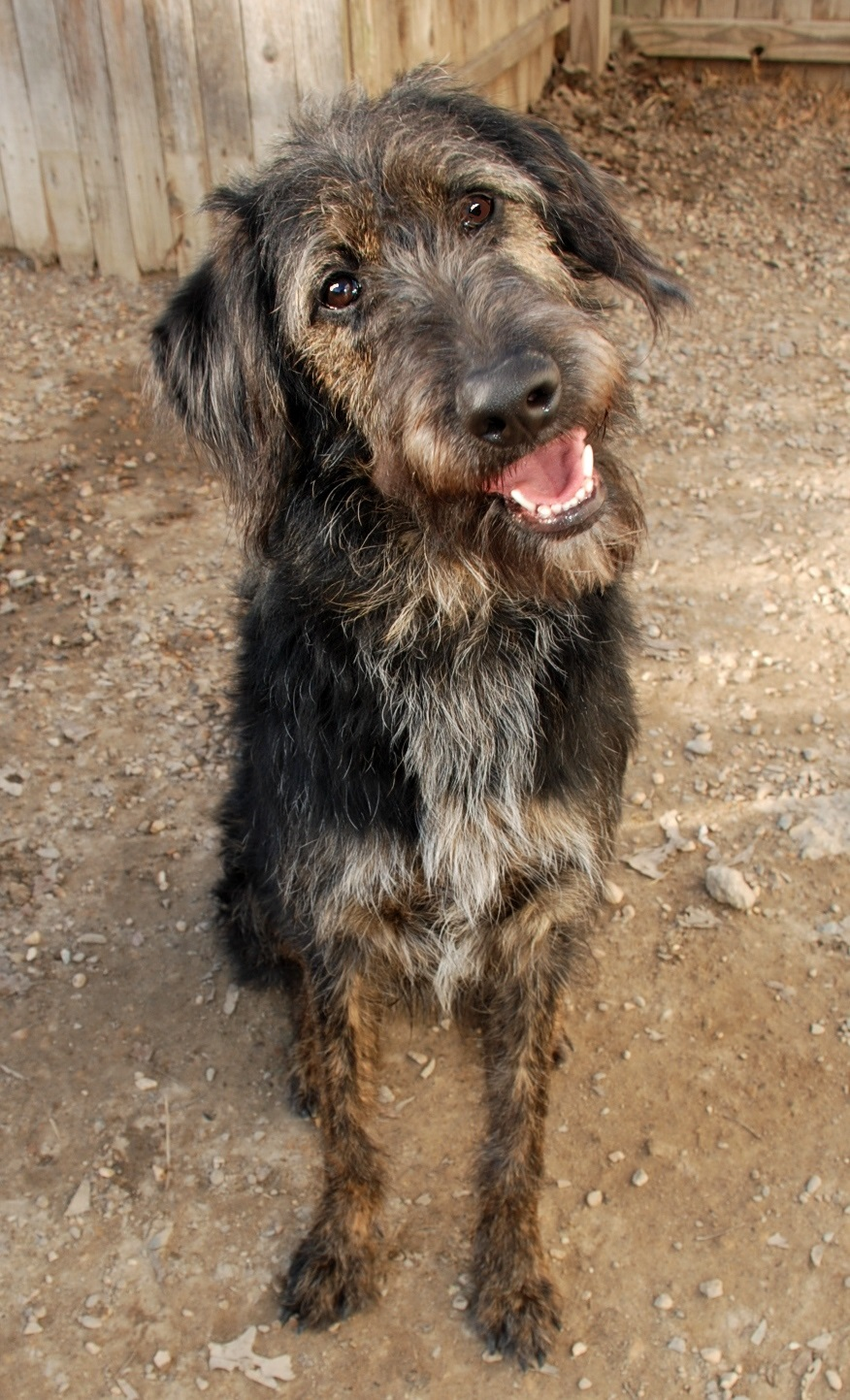 Schnauzer mix rescue dog