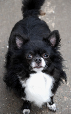 long haired chihuahua black