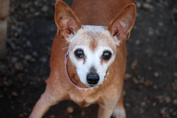 chihuahua senior rescue