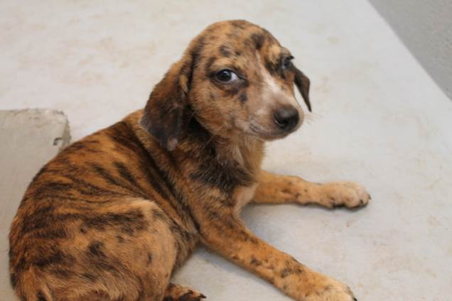 hound mix pup