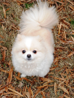 Pomeranian white rescue dog