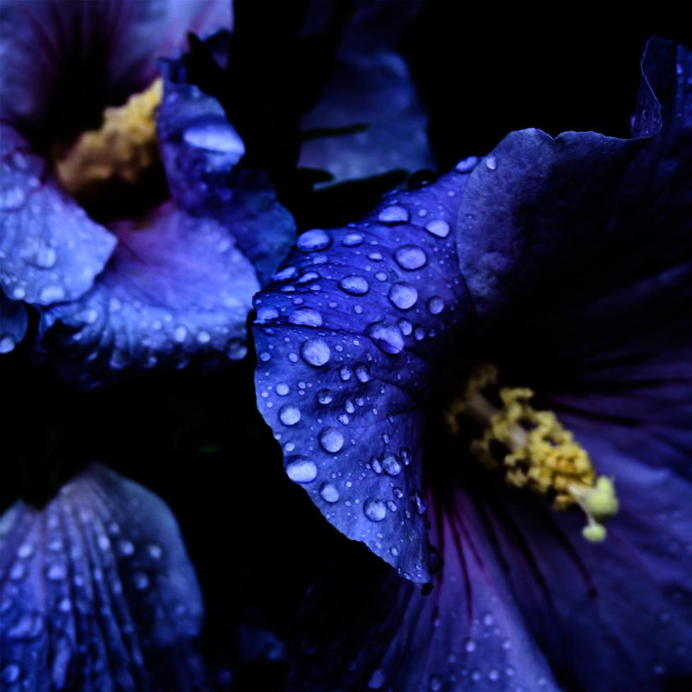 Regndroppar på blå hibiskus