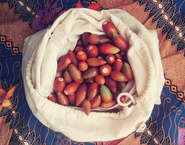 Gone #acorn #foraging!_#acorns #harvest