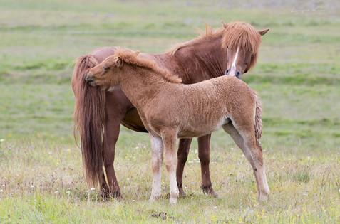 Fohlen mit Mutter