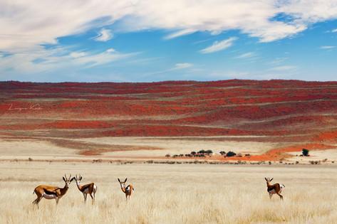 Springboks vor roter Düne