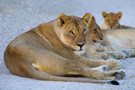 Löwin und Jungtiere