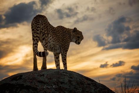 Gepard (Cheetah)