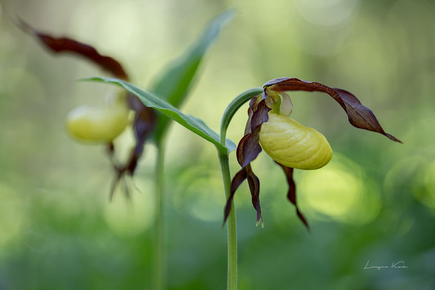Frauenschuh Orchidee (Deutschland)