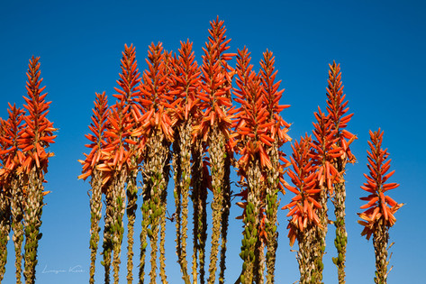 Aloe Blüten