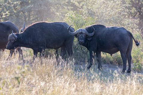 Büffel im Gegenlicht