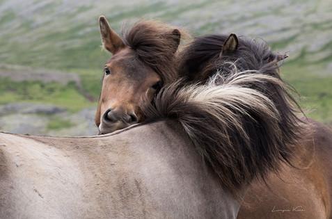 Ponys bei der Fellpflege
