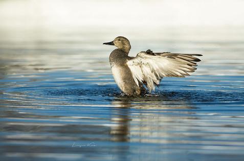 Ente beim baden
