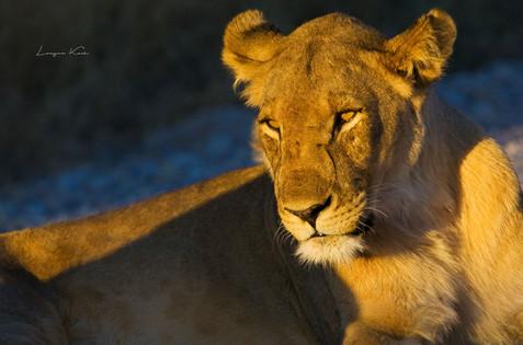 Löwin in der Abendsonne