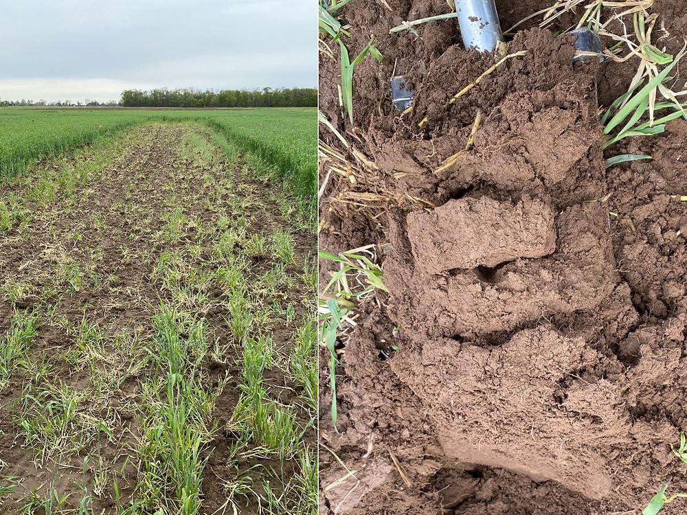 winter rye cover crop after tillage