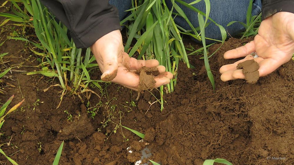 ribbon test of wet soil