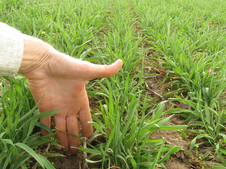 Cover Crops in May: Podcast on Spring Management and Observations of Winter Rye at Pinney Purdue