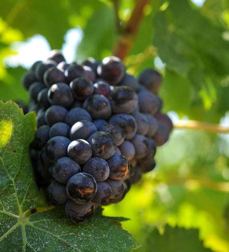 grappe-raisin.jpg