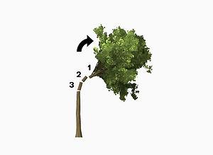 Avancerad trädfällning - Sektionsfällning