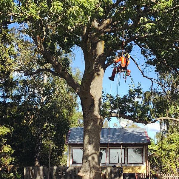 Arborist klättrar i stort träd