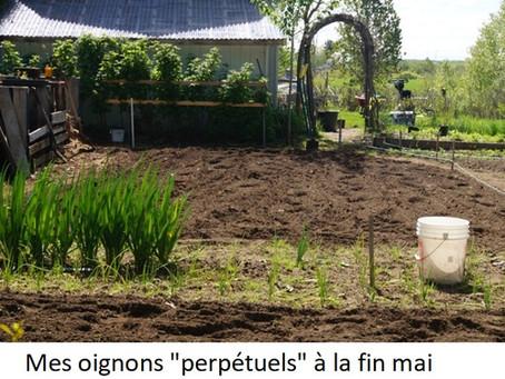 "Oignons ""PERPÉTUELS"""