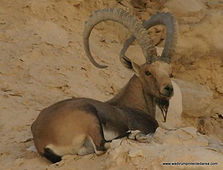 Wadi Rum Wildlife Jordan