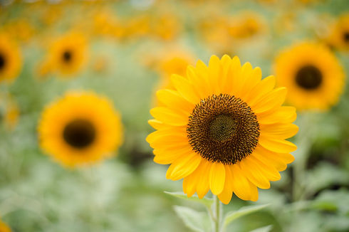 close-up-blooming-sunflower-field-with-b