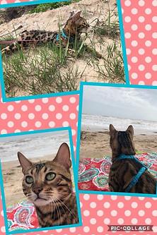 Katznjamr Louis at the Beach.jpg