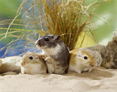 Gerbil, Desert Rats.jpg