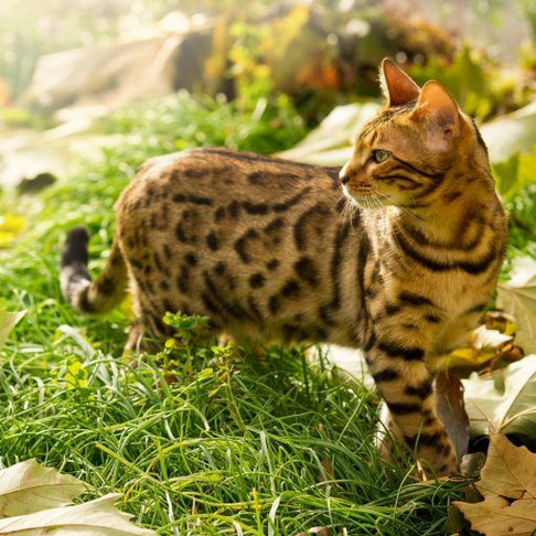 Bengals Top the Hypoallergenic Cat List