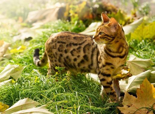 Bengals Top the Hypoallergenic Cat List