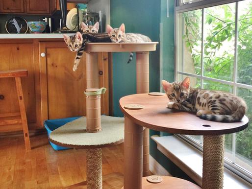 How Do I Become a Bengal Cat Breeder?