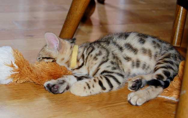 Bengal cats for sale near austin texas