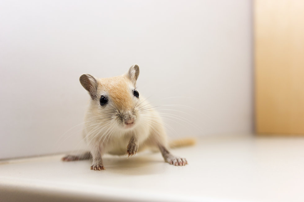 Fluffy baby of gerbil on neutral backgro
