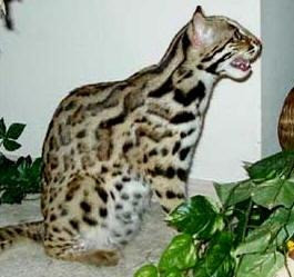 Asian Leopard Cat Texasstar Malaki.