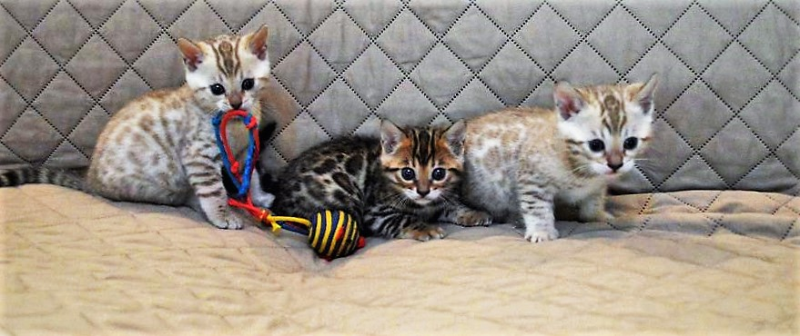 Contact Bengal Kittens For Sale | North Carolina | Alexander