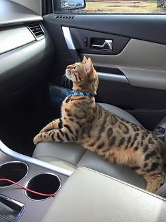 Bengals Love Car Rides!