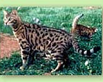 Bengal Kittens For Sale in North Carolina