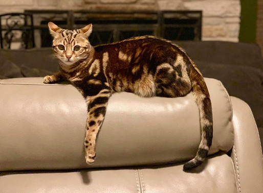 Why the Thoughtfully Bred Bengal?