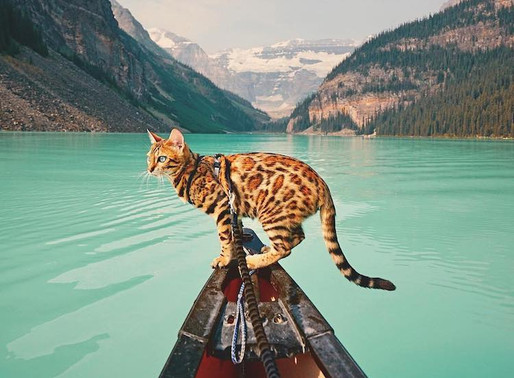 Beautiful Bengal Cat Explores the Canadian Wilderness with Gorgeous Travel Photos