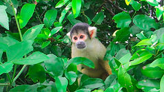 Madidi home for black capped monkeys