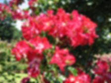 flowers at the rose garden.jpg