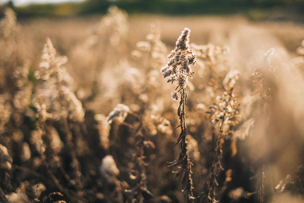 AG-HM-sunlight-autumn-dry-plants-field-s
