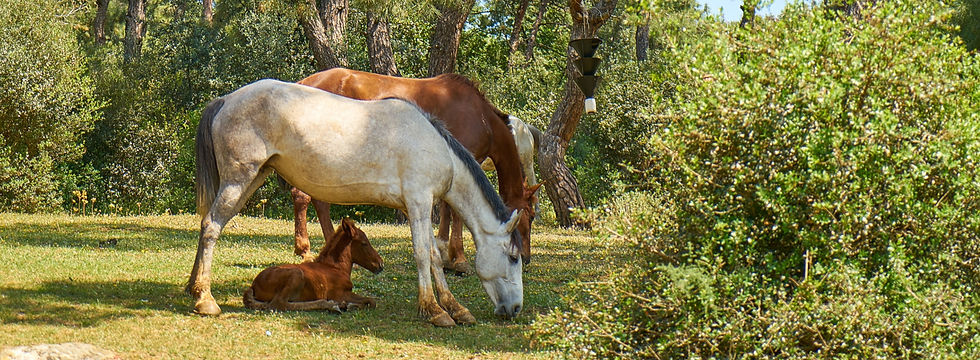 white-and-brown-horses-eating-grass-1493