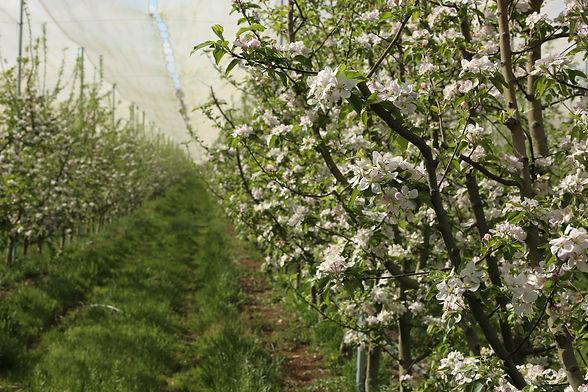 gülbudak elma bahçesi