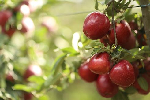 gülbudak kırmızı elma