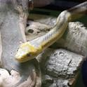 rat snake.jpg